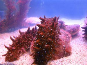 Морской огурец: описание животного, где используется трепанг и его полезные свойства