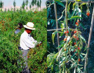 Как посадить и вырастить куст с ягодами годжи