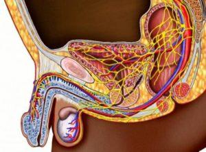 Лечение потенции у мужчин - Здоровая простата