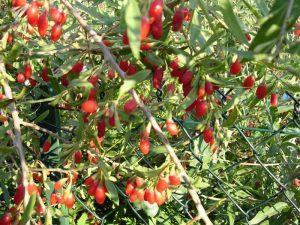 Ягоды Годжи: семена растения для посадки на даче